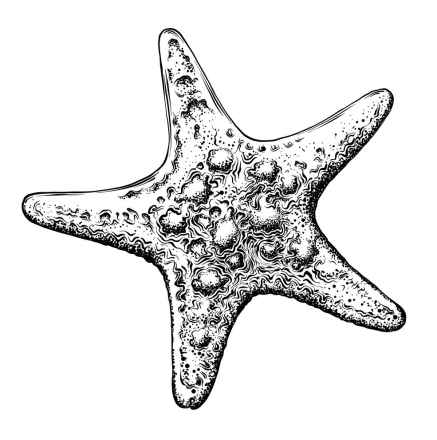 Hand drawn sketch of starfish in black isolated on white background. Detailed vintage style drawing. Vector illustration
